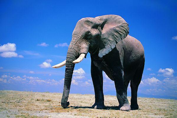 动物 长鼻子 四条腿 大象王国-动物-饮食水果