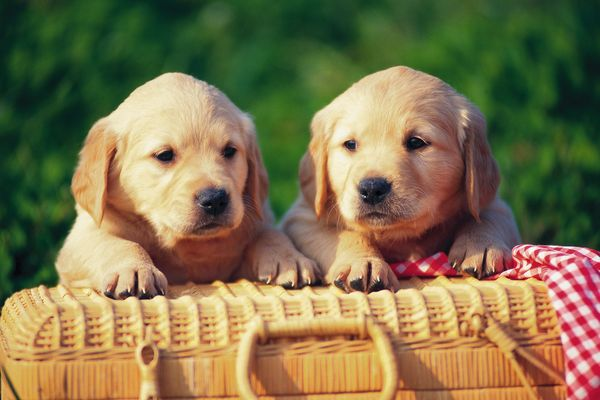 可爱狗狗图片-动物图 庞物 小狗 篮子,饮食水果,可爱