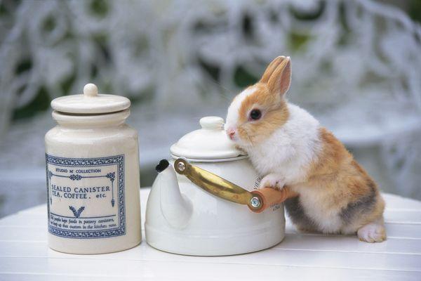 小兔 依靠 瓷壶 可爱小动物-动物-饮食水果,可爱小动物