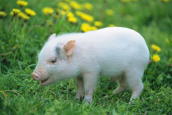 小猪 猪崽 野花 可爱小动物-动物-饮食水果,可爱小动物