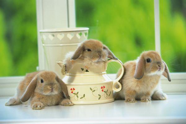 可爱小动物图片-动物图 地板上 三只小兔子 憨态可掬