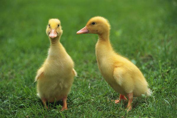 动物-可爱小动物 两只 幼鸭 浅草