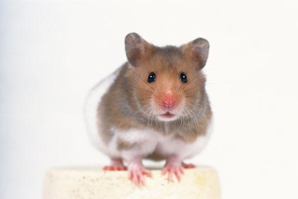 老鼠 可爱小动物-动物-饮食水果