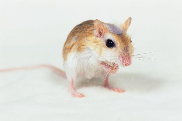 老鼠 偷食 可爱 可爱小动物-动物-饮食水果,可爱小动物