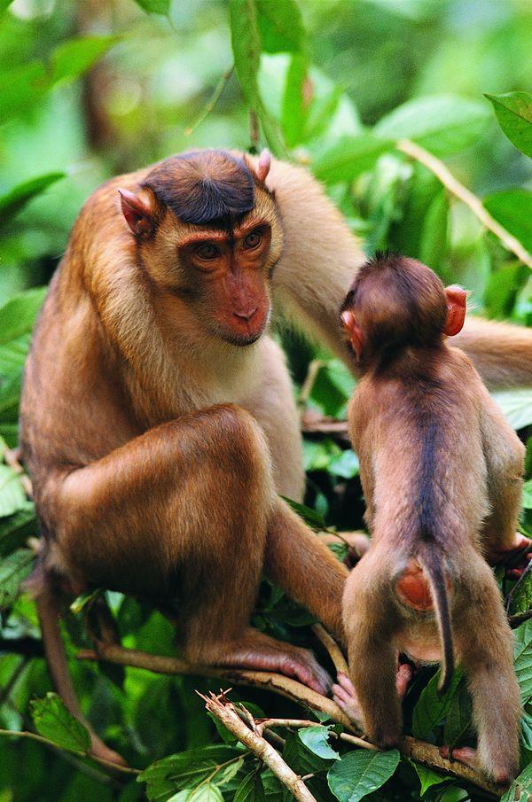 小猴子 母猴子 树枝 猿科动物-动物-饮食水果,猿科动物