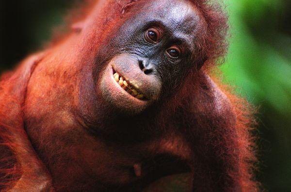 动物-猿科动物 猴脸 大嘴巴 棕色毛发