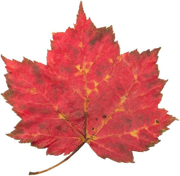 树叶图片 自然风景图 对称