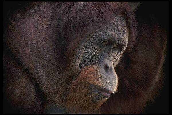 猴子 大嘴巴 眼睛 猴也疯狂-动物-饮食水果