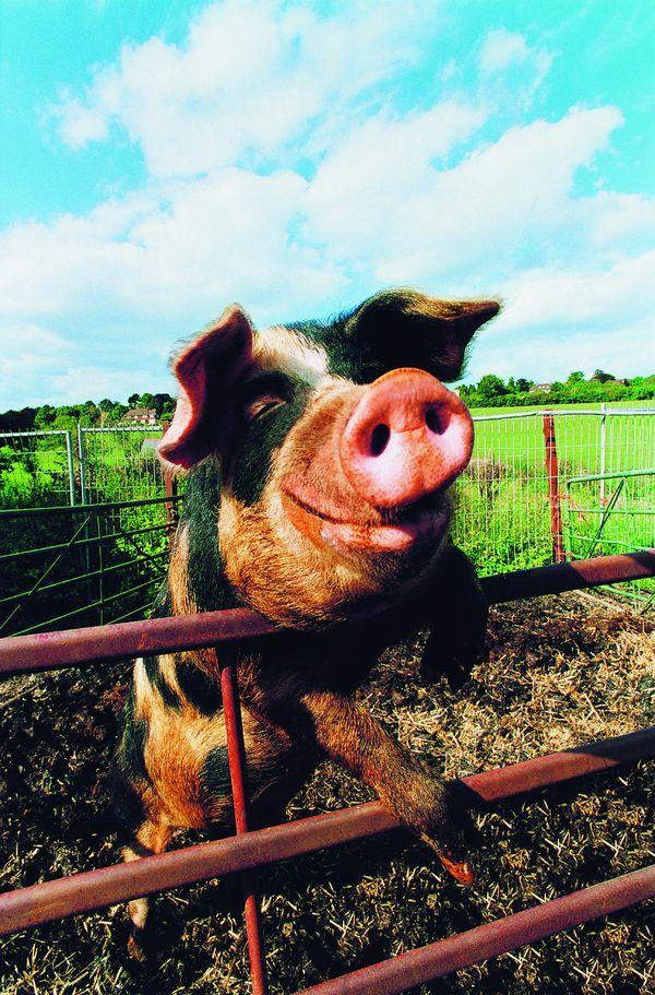 农场记趣图片-动物图 猪鼻子