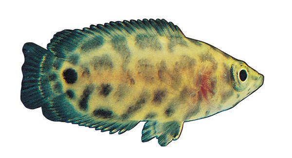 鱼种类图片及名称图片大全 孔雀鱼名称种类图片图片 孔雀