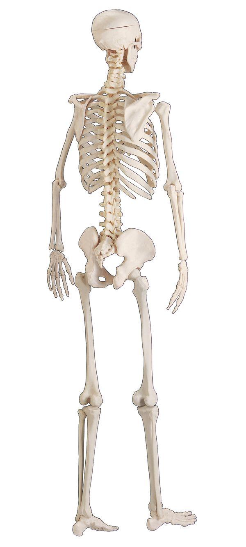 后背骨骼结构图